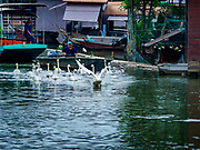 05 JANUARY 2019 - MINBURI, BANGKOK, THAILAND:  Swans in Khlong Saen Saeb, at the Kwan Riam Floating Market in Minburi, east of downtown Bangkok before the monks go on their alms rounds. People gather on both sides of the khlong (canal) between Wat Bamphen Nuea and Wat Bamphen Tai, monks in boats go past them as people present the monks with food, flowers, and other offerings.          PHOTO BY JACK KURTZ