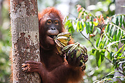 A portrait of an adolescent orangutan (Pongo pymaeus) with two bunches of bananas, Tanjung Puting National Park, Central Kalimantan, Borneo, Indonesia