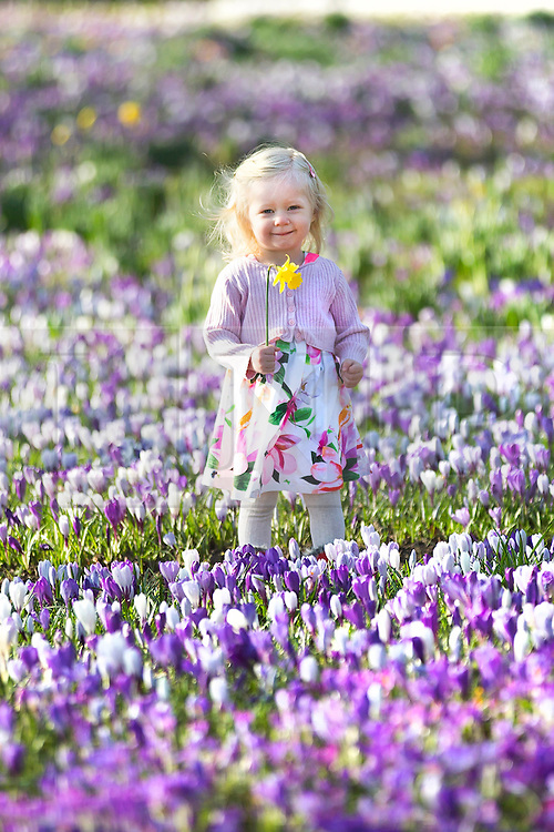 © Licensed to London News Pictures. 07/03/2017. Leeds UK. 18 month old Scarlet play's in a sea of Crocus flowers at Temple Newsam park in Leeds this morning on another sunny day in Yorkshire. Photo credit: Andrew McCaren/LNP