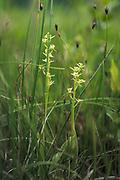 "Blooming fen orchid (Liparis loeselii) at ""Lielezers"" nature trail, Limbaži, Latvia Ⓒ Davis Ulands | davisulands.com"