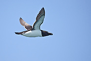 Razorbill, North America