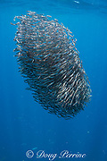 bait ball of schooling anchovies ( oceanic anchovy, buccaneer anchovy or roundhead anchovy, Encrasicholina punctifer ); sparkling scales from slaughtered fish drift downward through the water; Kei ( or Kai ) Islands, Moluccas, eastern Indonesia, Banda Sea, Southwest Pacific Ocean