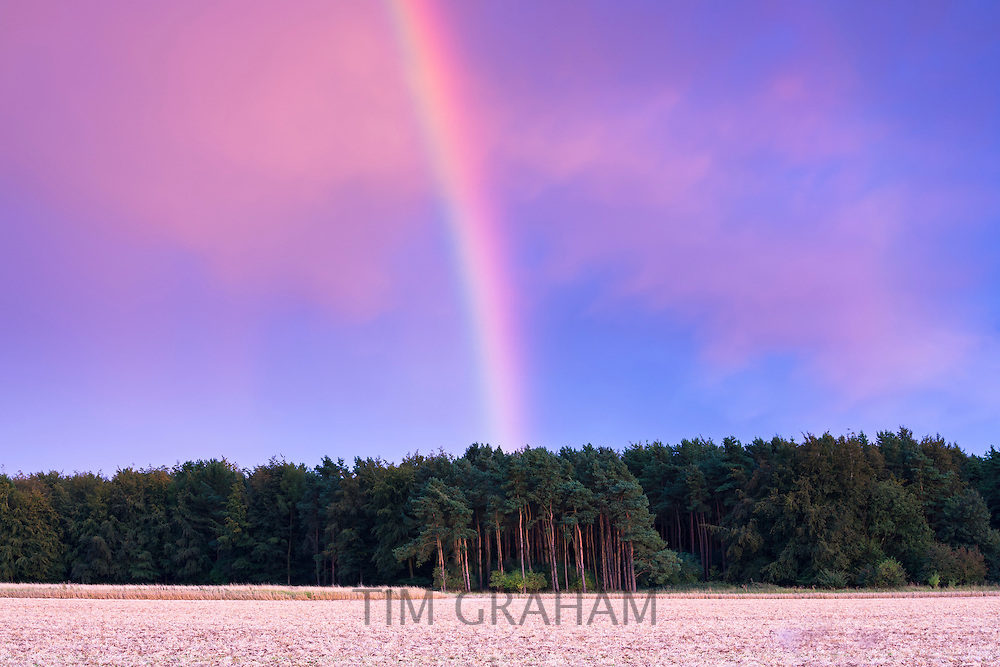 Spectacular rainbow above conifer trees in late afternoon evening sky at sunset in the UK