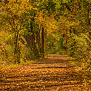 For a few days, we get a colorful carpet under foot as we walk, run, bike or ride horses on the tow path.