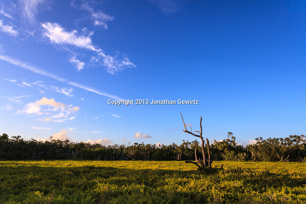 A barren tree stands out from thick green vegetation in a field in the Flamingo section of Everglades National Park, Florida.<br /> <br /> WATERMARKS WILL NOT APPEAR ON PRINTS OR LICENSED IMAGES.<br /> <br /> Licensing: https://tandemstock.com/assets/28745321
