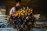 A bunch of oil palm fruit in a fishing village, Tapanuli, Batang Toru Ecosystem, Sumatra, Indonesia