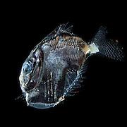 [captive] Deep sea hatchetfish (Sternoptyx diaphana) , Deep Sea fish, Atlantic Ocean close to Cape Verde |