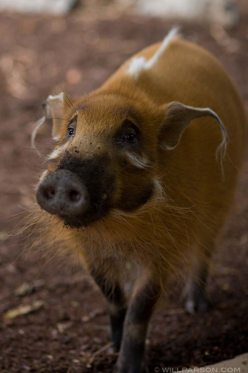 A species of wild boar at the San Diego Zoo