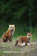 01871-01304 Red fox (Vulpes vulpes) adult with kits    IL