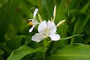 White Ginger Flower, Hiking, Tanatalus, Oahu, Hawaii
