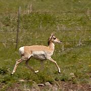 Pronghorn Antelope (Antilocapra americana) Running within fenced field. Montana. Spring.