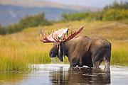 Moose (Alaska-Yukon), Alces alces gigas; bull, antlers, autumn, closeup, feeding, tundra pond; largest subspecies of moose; Denali National Park, Alaska, ©Craig Brandt, all rights reserved; brandt@mtaonline.net
