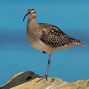 Bristle-thighed Curlew, (Numenius tahitensis) Midway Island. Hawaii. Wintering grounds.
