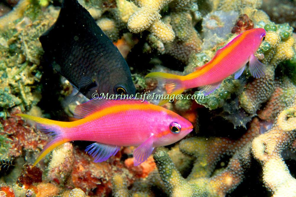 Purple Anthias inhabit reefs. Photographed taken Phillipines.