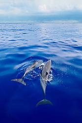 pantropical spotted dolphins, Stenella attenuata, spouting, Kona Coast, Big Island, Hawaii, USA, Pacific Ocean