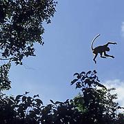 Proboscis Monkey, (Nasalis larvatus) Leaping from tree to tree in rain forest. Sabah. Malaysia.