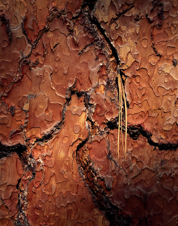 Detail image of an ancient Ponderosa Pine trees with a pine needle pods wedged in its bark design at Bandolier State Park in New Mexico. Open Edition Prints and Licensing