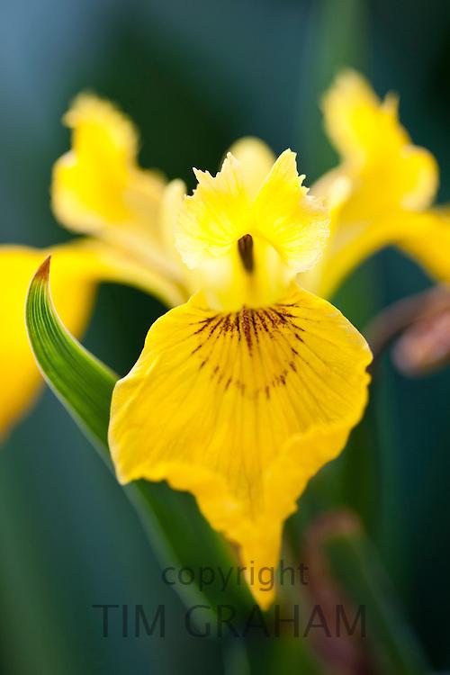Yellow Flag Iris, Iris pseudacorus, in English country garden, UK..