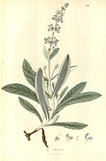 From Plantae Asiaticae rariores, or, Descriptions and figures of a select number of unpublished East Indian plants Volume II by N. Wallich. Nathaniel Wolff Wallich FRS FRSE (28 January 1786 – 28 April 1854) was a surgeon and botanist of Danish origin who worked in India, initially in the Danish settlement near Calcutta and later for the Danish East India Company and the British East India Company. He was involved in the early development of the Calcutta Botanical Garden, describing many new plant species and developing a large herbarium collection which was distributed to collections in Europe. Several of the plants that he collected were named after him. Published in London in 1831