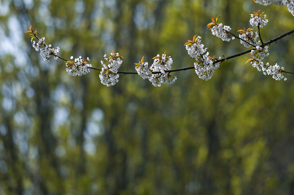 Wild cherry trees (Prunus emarginata) and bigleaf maple (Acer macrophyllum), April, afternoon light, Elwha River watershed, Clallam County, North Olympic Peninsula, Washington, USA
