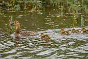 Canvasback Female duck with Ducklings
