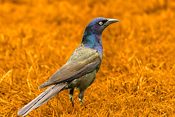 Common Grackles are large, lanky blackbirds with long legs and long tails. The head is flat and the bill is longer than in most blackbirds, with the hint of a downward curve. In flight, the wings appear short in comparison to the tail. Males are slightly larger than females.
