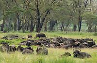 A herd of Cape Buffalo, Syncerus caffer caffer, in Lake Nakuru National Park, Kenya