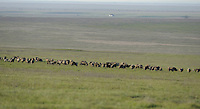 Landscape, Rostovsky Nature Reserve, Rostov Region, Russia.Sheep (Ovis aries)