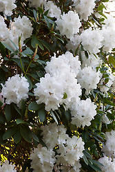 Rhododendron 'Loder's White' AGM