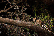 Rusty-spotted Genet (Genetta maculata), also known as the Panther Genet, traversing a tree limb at night in Matobo National Park, Zimbabwe.