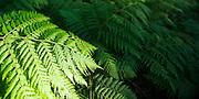Fern detail, Watagan Mountains, Lake Macquarie, NSW, Australia