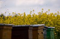 Krynki, woj. podlaskie, 27.05.2021. Pola kwitnacego rzepaku N/z ule z pszczolami na polu rzepaku fot Michal Kosc / AGENCJA WSCHOD