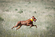 SHOT 5/9/20 8:54:29 AM - Various pointing breeds compete in the Vizsla Club of Colorado Licensed Hunt Test Premium at the Rocky Mountain Sporting Dog Club Grounds in Keenesburg, Co. (Photo by Marc Piscotty / © 2020)