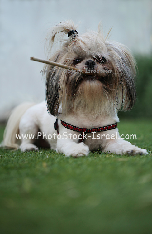 """Pedigree Dog - Shih Tzu (also spelled as shih-tsu literally """"Lion Dog"""") a breed of small companion dog of very ancient type, with long silky fur. The breed originated in China playing in a park with a stick"""