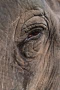 Close up of an Asian elephant (Elephas maximus), Unesco world heritage site, Kaziranga National Park, Assam, India