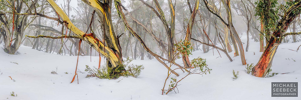 A panoramic photograph of beautiful snow gums in mist, in the High Country of Victoria.<br /> <br /> Limited Edition of 125