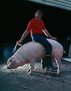 Greg Bartz, a Minnesota farmer sprays a synthesized boar pheromone at a sow he will artifically inseminate with the spirette in his left hand.