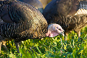 Free-range Norfolk bronze turkeys roam freely at Sheepdrove Organic Farm , Lambourn, England