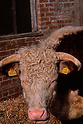 A87CMA Hereford cow face with yellow ear tag and horns