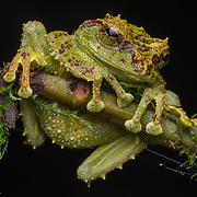 It lives in wet montane forests, 1,000 m to 1,800 m asl. The coloration and skin tubercles mimic lichen and mossy bark. During the day this frog is perfectly camouflaged. At night they usually sit 1–3 m above ground on twigs and leaves. The species occurs on the mountains of western Sabah and northern Sarawak.