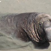 Northern Elephant Seal, (Mirounga angustirostris)  Male running from another bull across beach. California.
