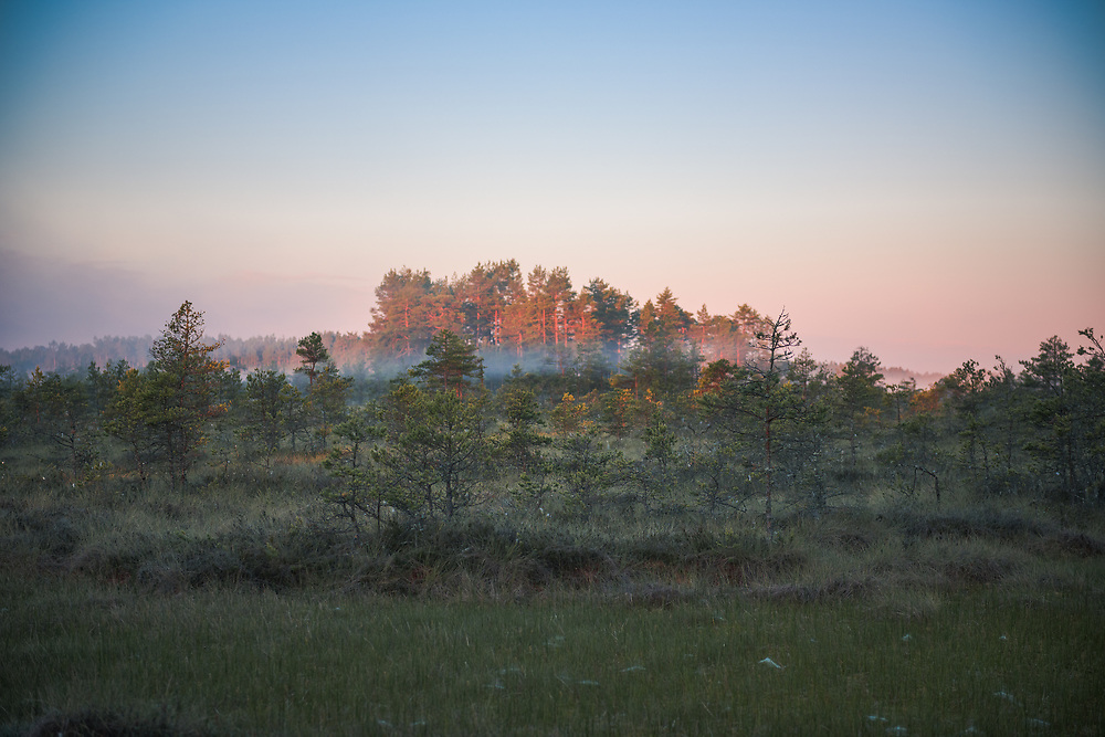 "The rising sun colors the trunks of scots pines red in raised bog of Ance, nature reserve ""Ances purvi un meži"", Latvia Ⓒ Davis Ulands 