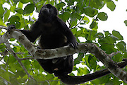 Alamor, Ecuador - Wednesday, Jan 09 2008: A female Black Howler Monkey (Alouatta caraya) sits in a tree near Hacienda Banderones near Alamor, Loja Province, Ecuador.  (Photo by Peter Horrell / http://www.peterhorrell.com)