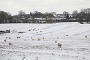 Snow scene with livestock bracing against the wind in the Herefordshire countryside near Clifford, England, United Kingdom. With the UK experiencing one of its coldest winters and most snowfall in recent years. Finally, in March, the country experienced the final flurry and snowy weather sweptin from the East one last time.