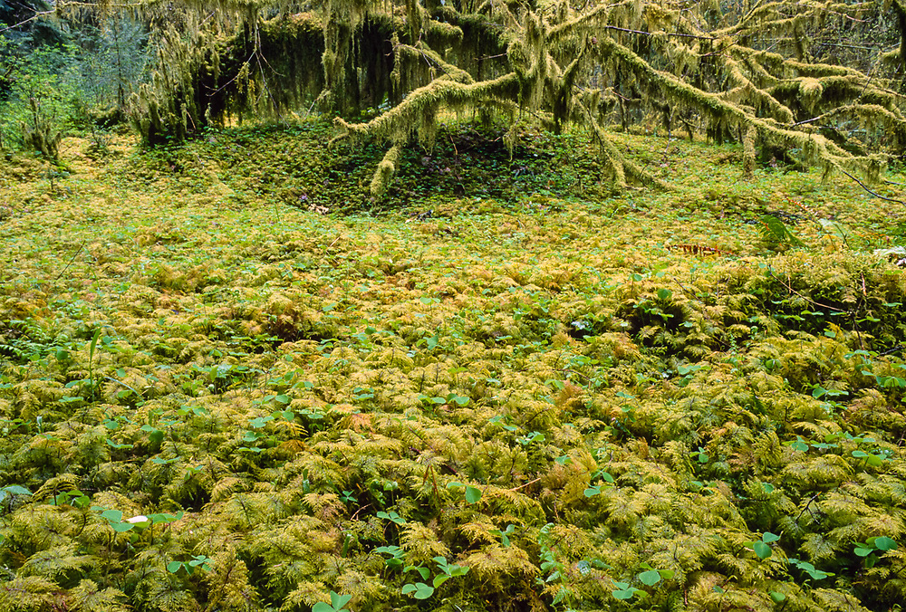 Moss draped bigleaf maples, Hoh Rain Forest, Olympic National Park, Washington, USA
