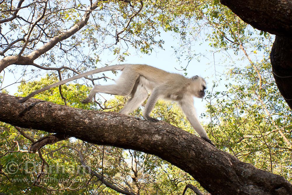 A male vervet monkey (Chlorocebus pygerythrus) traversing a tree limb in Matobo National Park, part of the Motopos Hills area in Zimbabwe. The park is an U.N. UNESCO World Hertiage Site. © Michael Durham / www.DurmPhoto.com