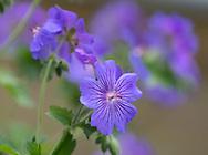Geranium 'Roseanne', a purple geranium flowering in May