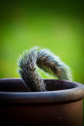 Grey squirrel with only the tail visible as it searches for food in the bottom of plant pot, Leicester, England, United Kingdom.