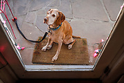 SHOT 12/30/17 4:36:04 PM - Tanner, a 13 year-old male Vizsla, waits patiently outside a store for his owners in Taos, N.M. (Photo by Marc Piscotty / © 2017)