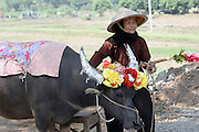 Vietnam, Vietnamese woman leads her decorated bull